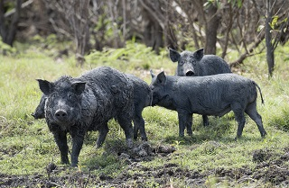 feral pigs320