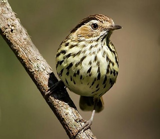 Speckled Warbler Ian Colley planetbirds.blogspot.320