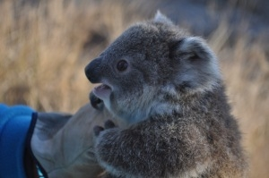 Koala tracking at Armidale needs you!