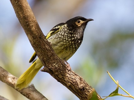 Raising funds for Regent Honeyeater Recovery
