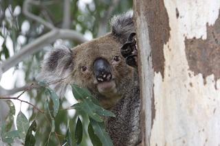 Lending a hand to Cool Country Koalas
