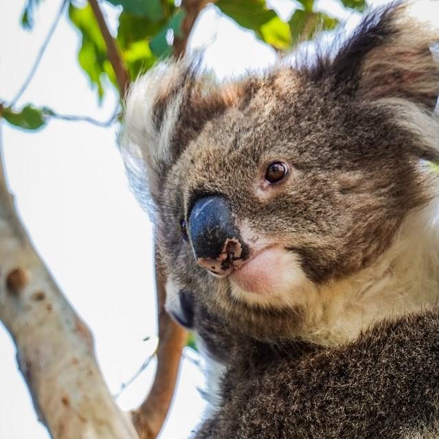 Koalas in the Spotlight